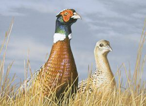 2017 Pheasant Stamp Competition First Place:  Scot Storm